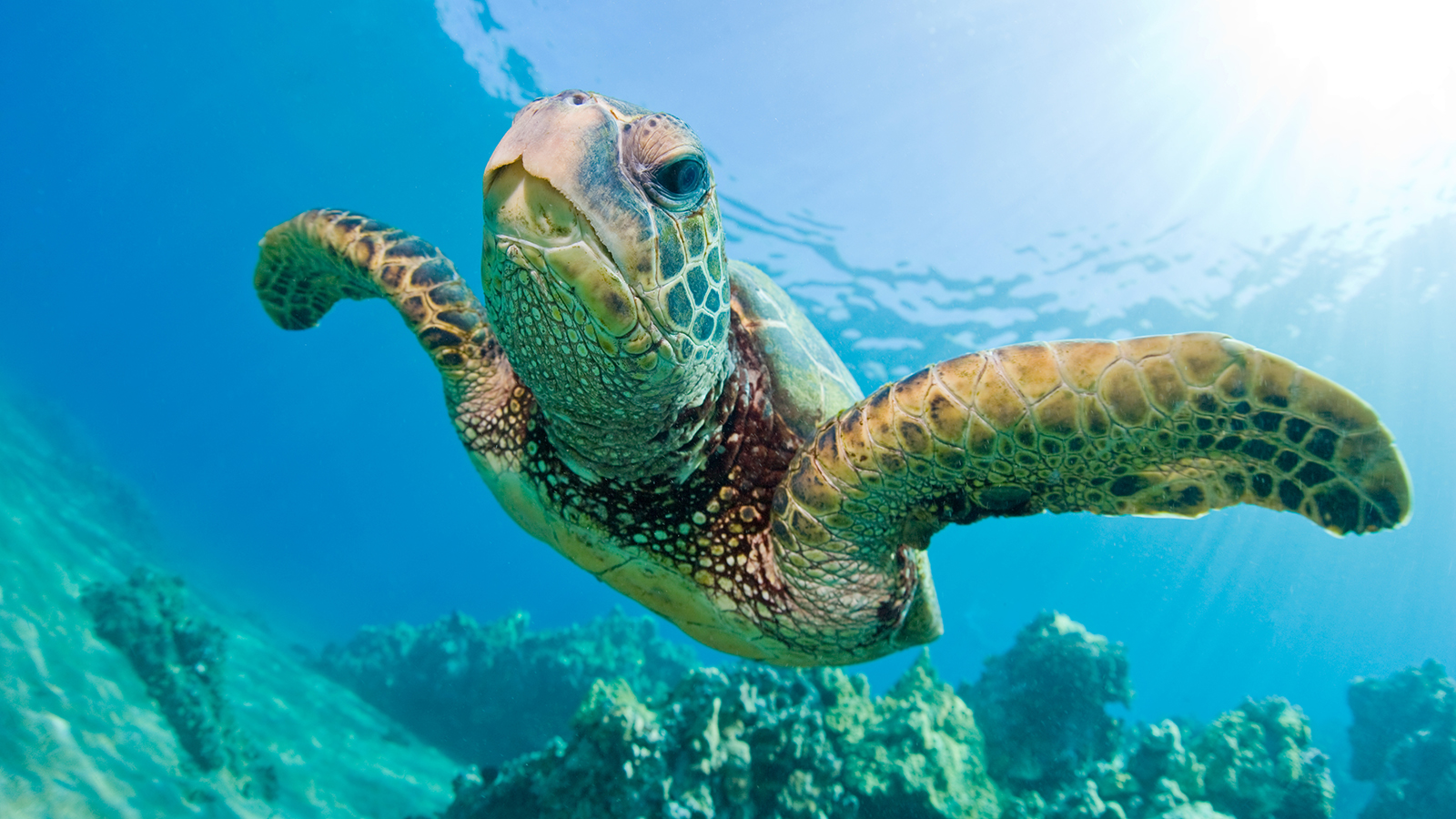 green-sea-turtle-gili-islands