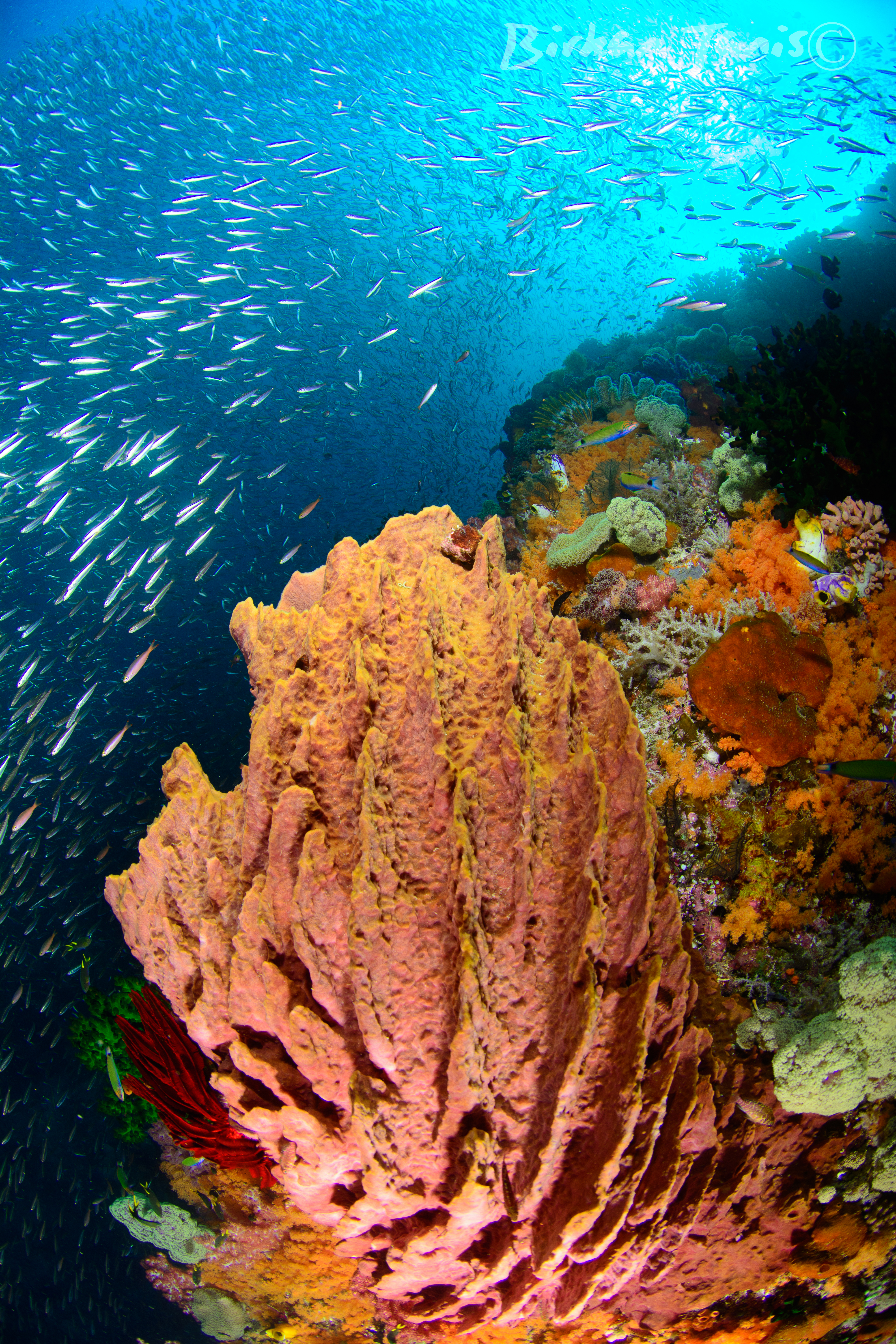 Coral-reef-fish-indonesia-sponges
