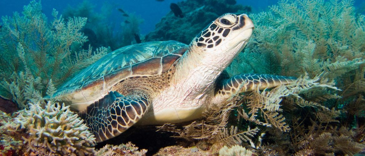 green-turtle-gili-islands-shark-conservation