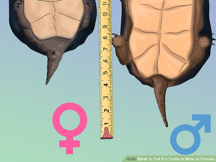 Male-or-Female-Turtle-Tail-gili-shark-conservation