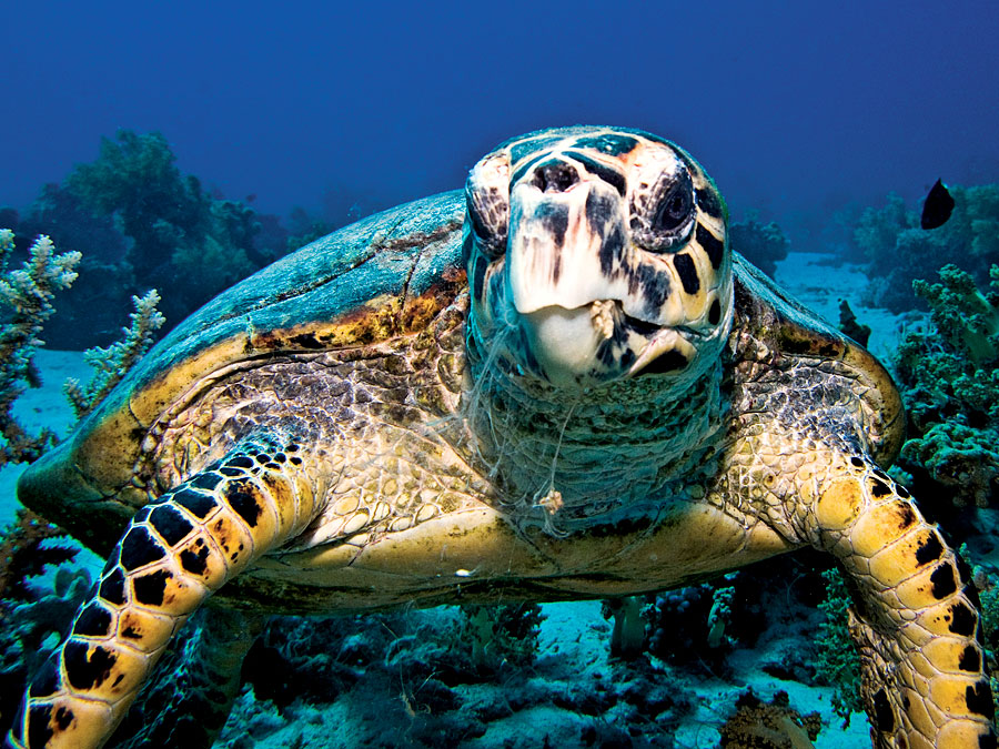 hawksbill-turtle-gili-islands