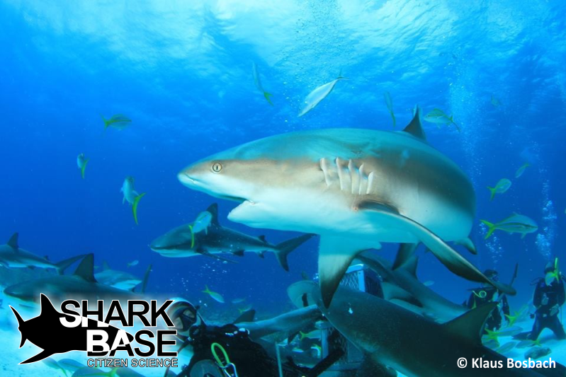 shark-base-gili-shark-conservation