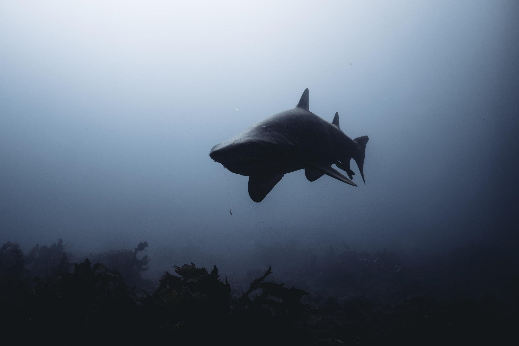 grey-nurse-shark