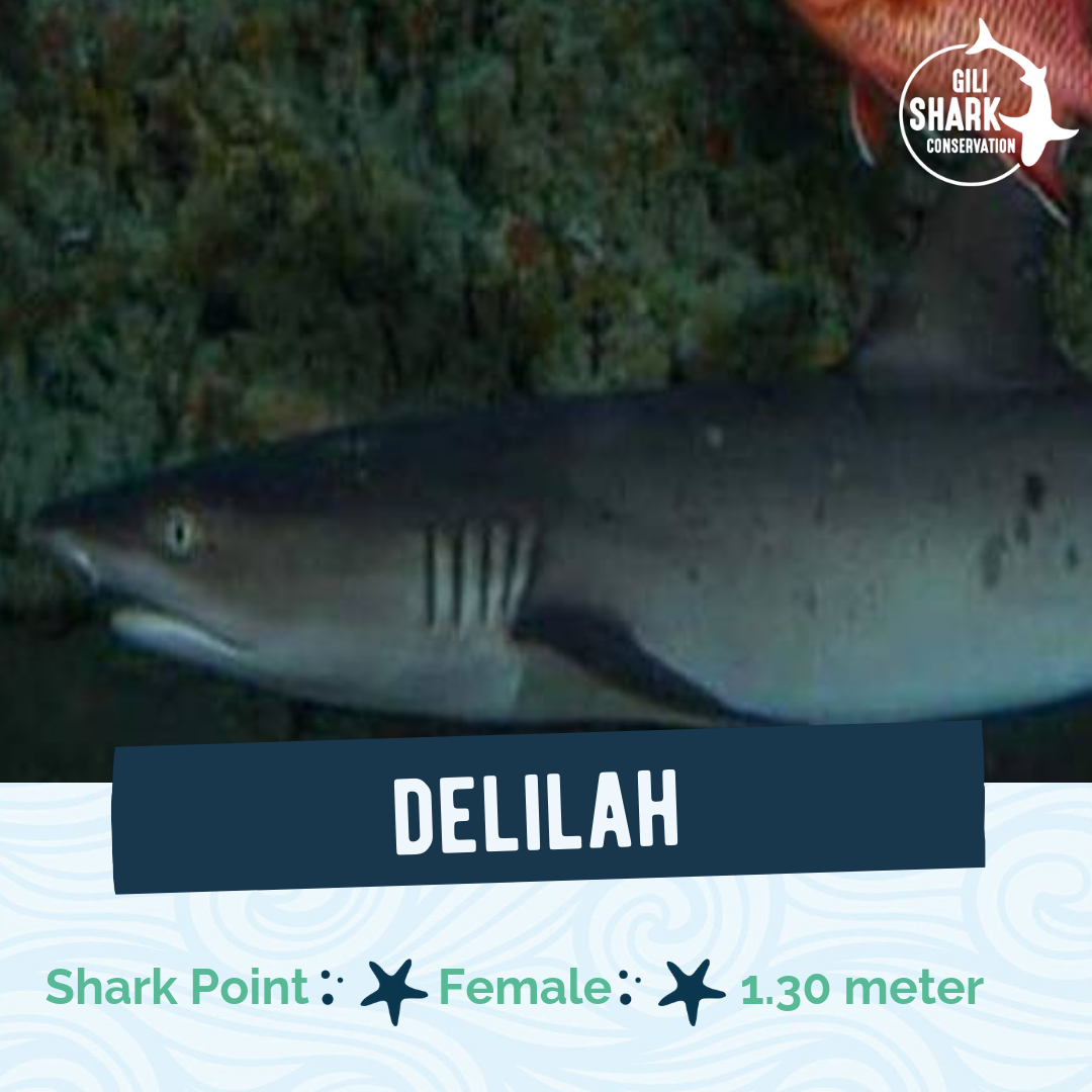 White Tip reef shark - Gili Islands - Shark ID Project