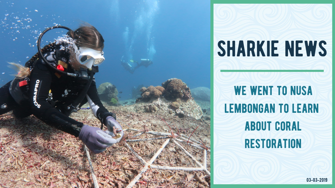 The Gili Shark Conservation Project went to Bali to study coral restoration