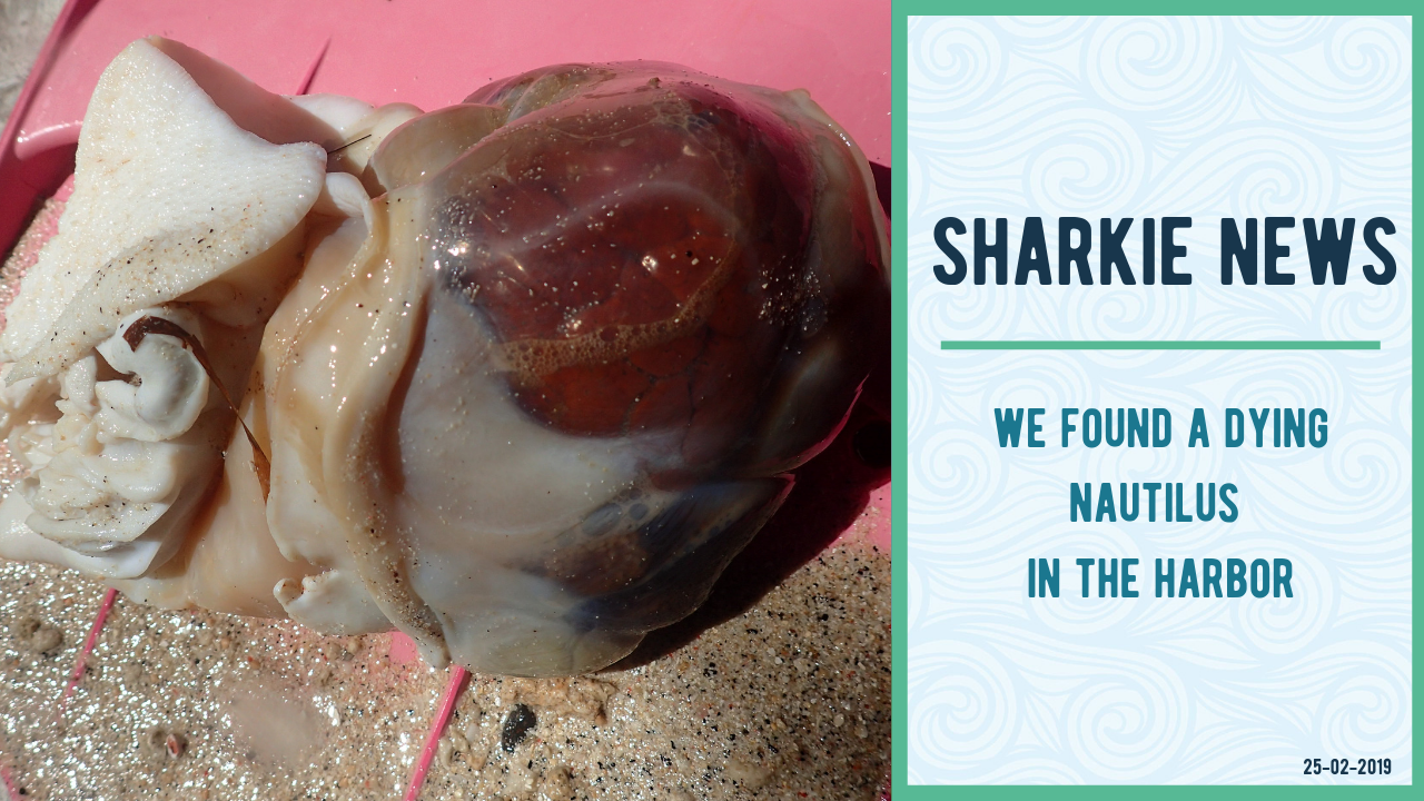 The Gili Shark Conservation Project found a Nautilus in the harbor of Gili Air and published a paper about it.
