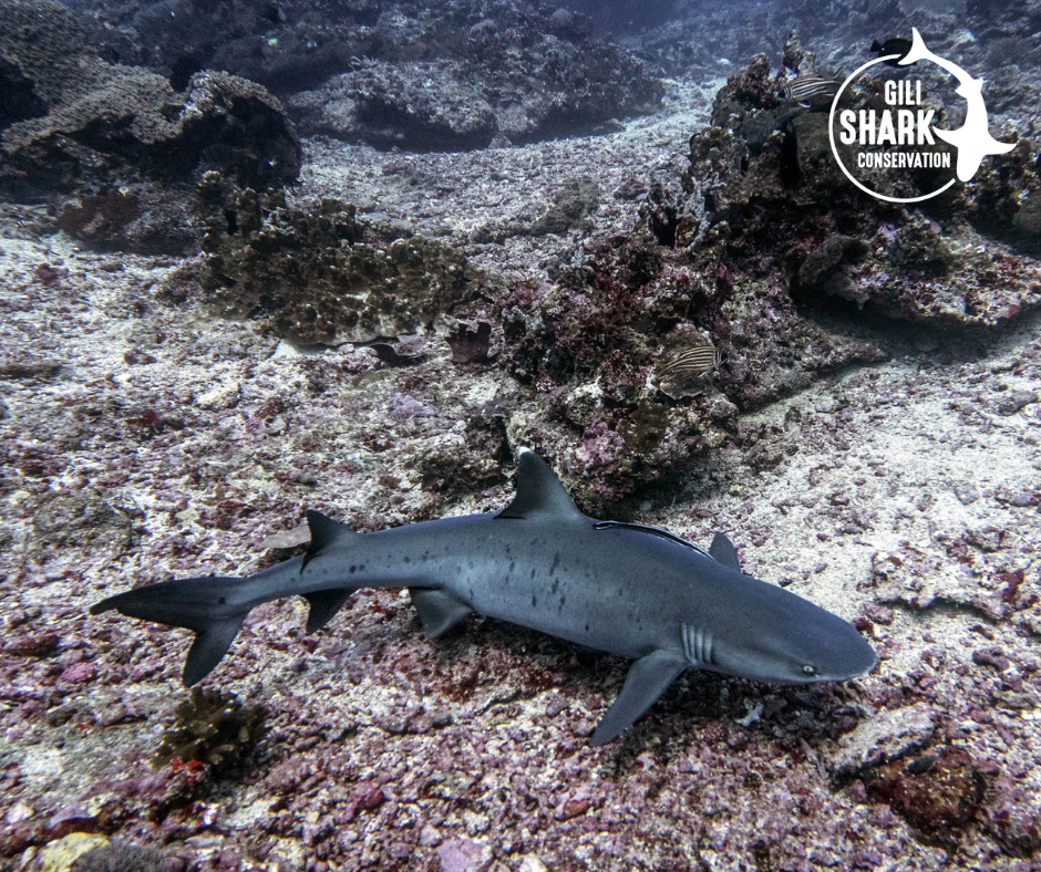 You can often see pregnant whitetip reef sharks in the shark nursery around the Gili Islands where they come to deliver their baby sharks.