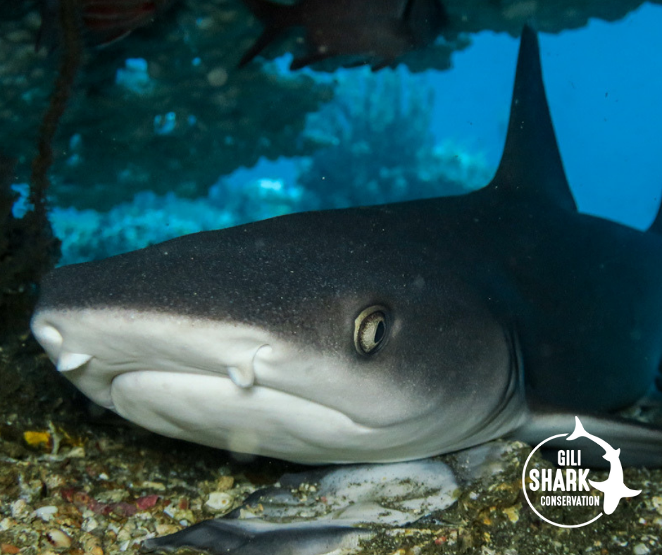 Whitetip reef sharks are pregnant for about 12 months before they come into the shark nursery in the shallow reef to deliver their baby sharks.
