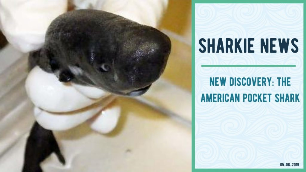 Sharkie News - The American Pocket Shark