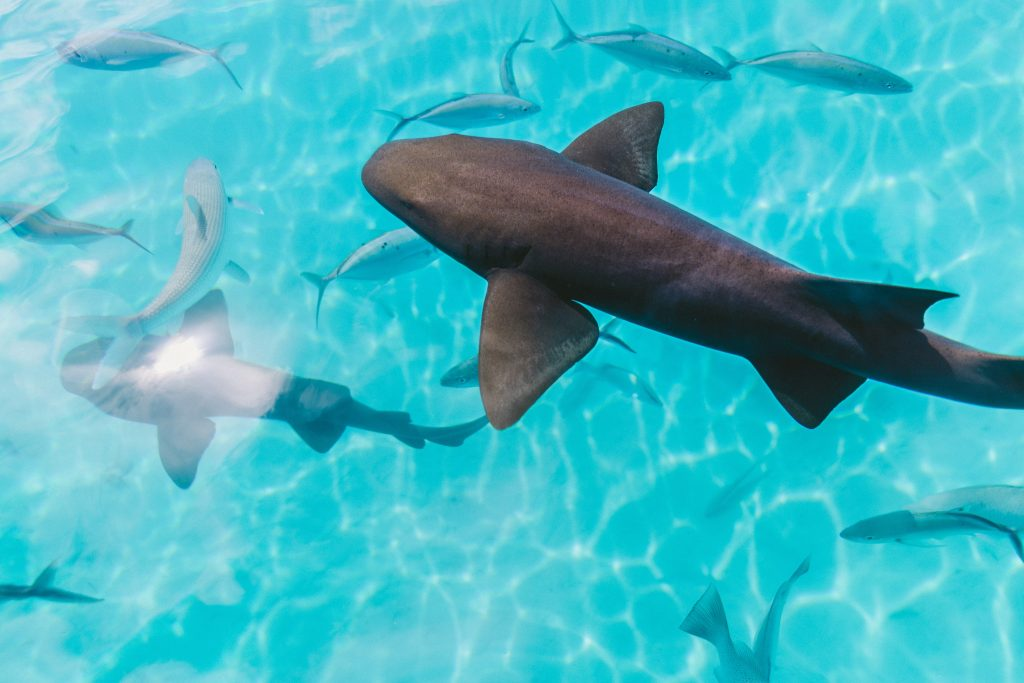 Nurse sharks guys are slow-moving bottom-dwellers and are harmless souls. They rest on the floor in giant piles in the day with all their pals, then they come out to play at night!