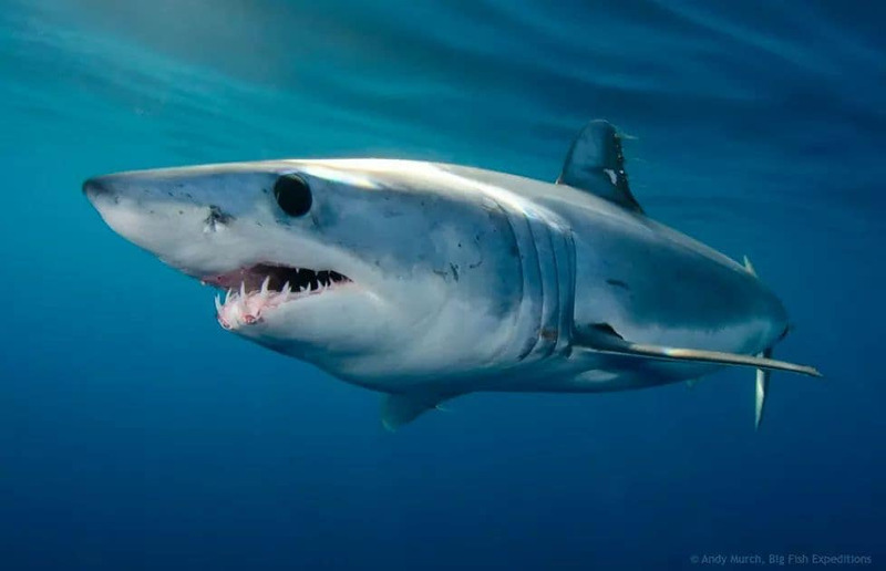 Mako sharks are the fastest sharks in the world, reaching speeds of 35kmph! They're the track stars of the sea.