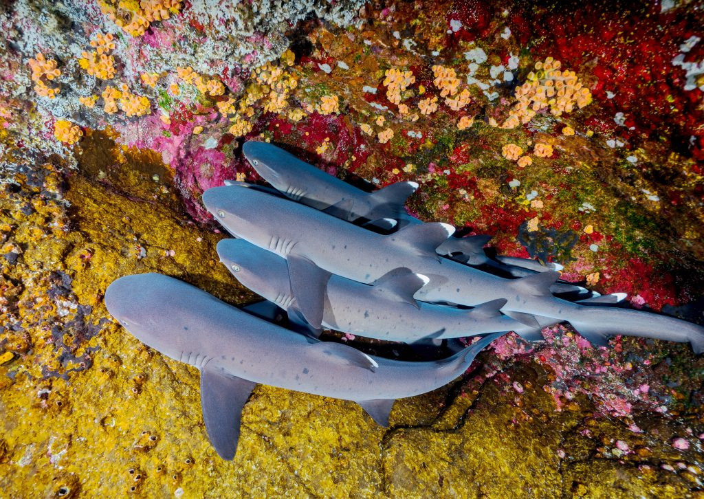 If you're small, calm, and a little shyer, then we reckon you're a perfect Reef shark! They're totally chill and you'll never hear of them associated with a shark attack.