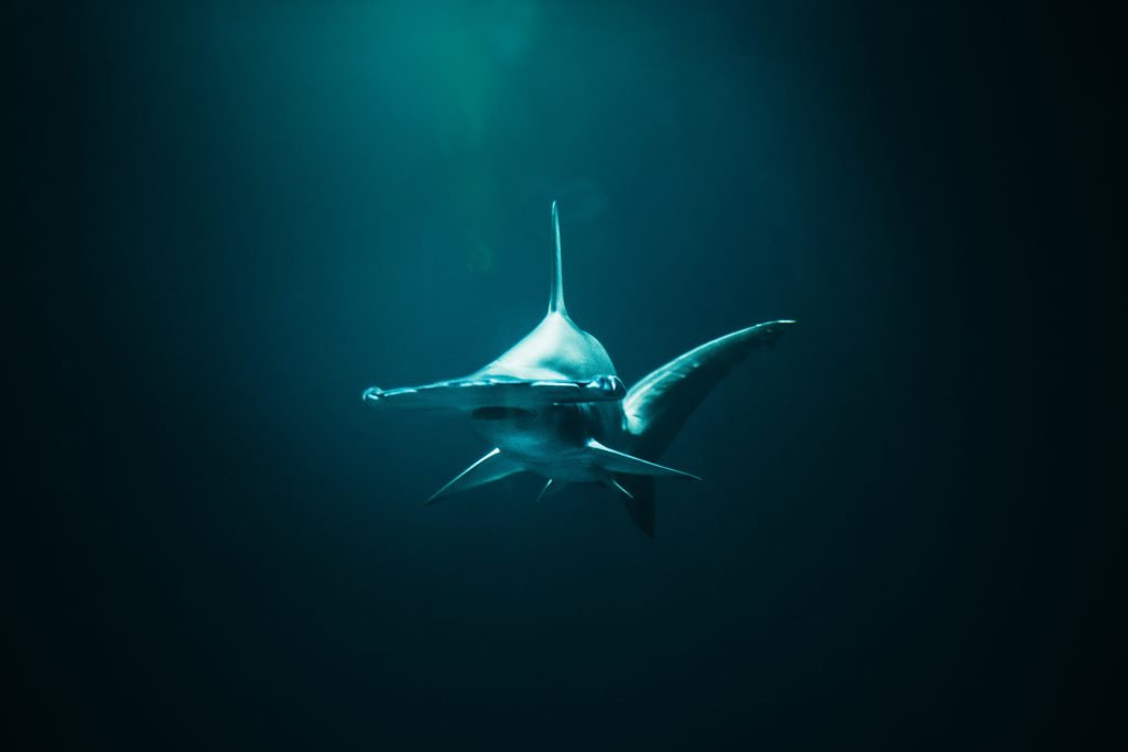 Hammerhead sharks are the most identifiable sharks. Their distinctive head shape makes them easy to spot from the crowd!