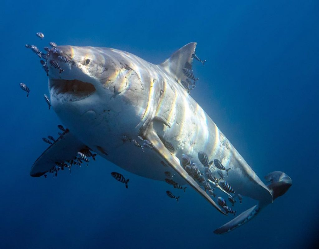 Lots of people are scared of sharks, especially Great whites! But sharks aren't all like in JAWS!