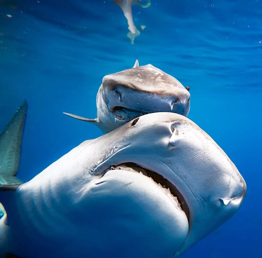 The only three species of shark who could be considered a danger to humans are Great whites, Bulls and Tigers. People still dive safely with these sharks every day.
