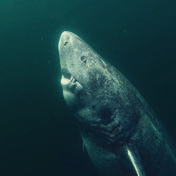 Some sharks are so slow they couldn't even catch up with you if they tried. Greenland sharks and Whale sharks swim slower than humans walk.