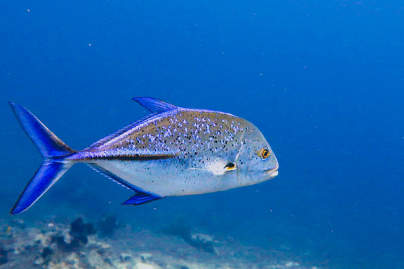 Coral reefs are home to much marine life. This is a big supply of food for people. But we think fish like this Bluefin trevally are friends, not food!