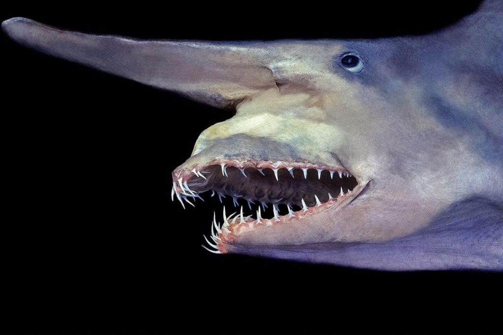 Sharks have existed for centuries. The Goblin shark hasn't changed for 100 million years! Do you think it wants to give you a shark bite? No, it wants to eat fish from the ocean.