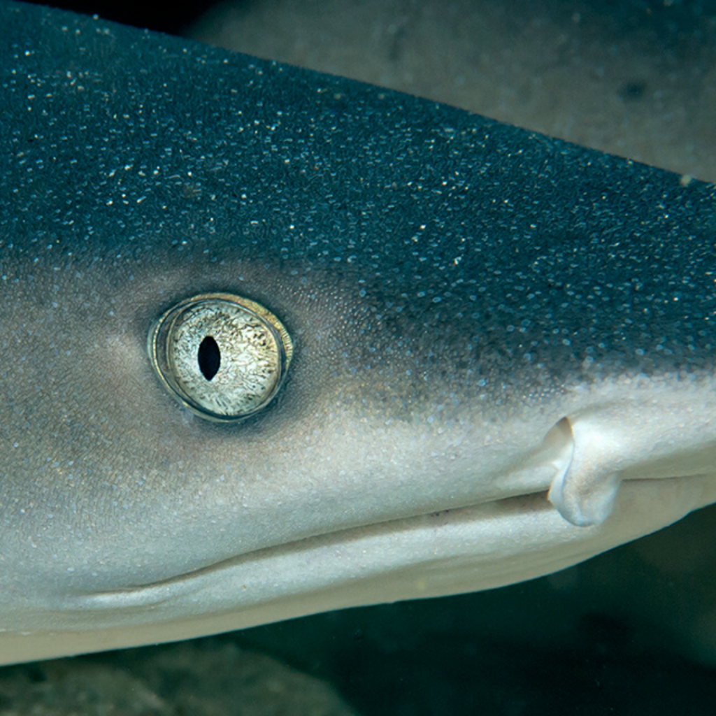 Close up white tip reef shark